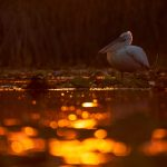 dalmatian+pelican